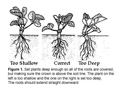 Planting Depth Of Bareroot Strawberries Is Critical